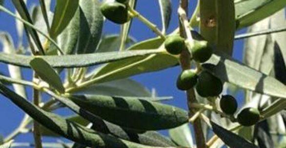 Aceite de Oliva Virgen Extra Ecológico - Plurivarietal